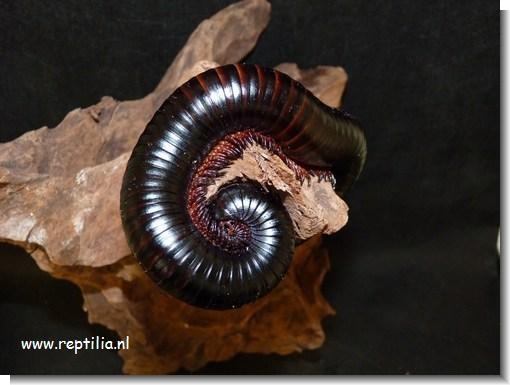 Diplopoda - Miljoenpoten