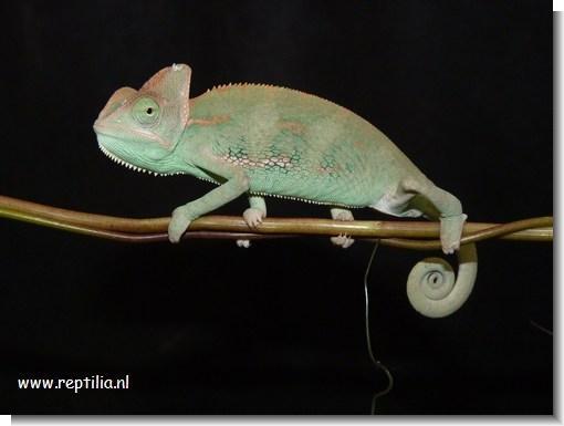 Reptilia - Reptielen